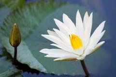 Biały lotos w stawie Fotografia Stock