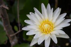 Biały lotosowego kwiatu kwitnienie w stawie Obraz Royalty Free