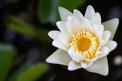 Biały lotosowego kwiatu kwitnienie w stawie Fotografia Stock