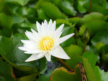 Biały lotosowy kwiat na brzeg jeziora Zdjęcia Royalty Free