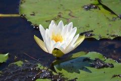 Biały lotosowy kwiat na wodzie Obrazy Royalty Free