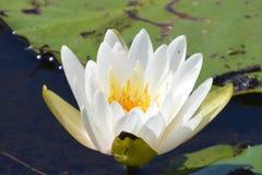 Biały lotosowy kwiat na wodzie Zdjęcia Royalty Free