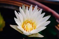 Biały lotosowy kwiat w ogródzie obrazy royalty free