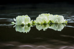 Biały Lotus Obrazy Stock