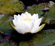 Biały Lotus na stawie zdjęcie stock