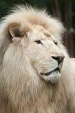 Biały lwa Panthera Leo krugeri Zdjęcie Stock