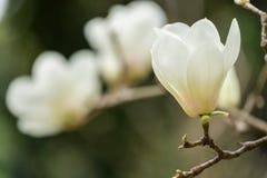 Biały magnolia Zdjęcia Stock