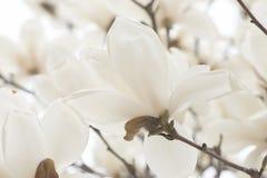 Biały magnolia Obraz Stock