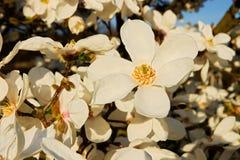 Biały magnolia Obrazy Royalty Free