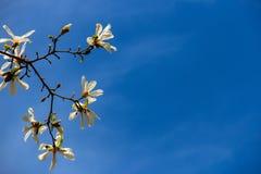 Biały magnoliowi kwiaty zdjęcie royalty free