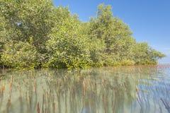 Biały mangrowe drzewa w tropikalnej lagunie Zdjęcia Stock