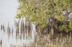 Biały mangrowe drzewa w tropikalnej lagunie Fotografia Stock