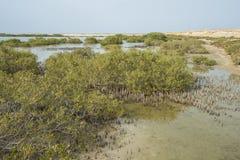 Biały mangrowe drzewa w tropikalnej lagunie Obrazy Royalty Free