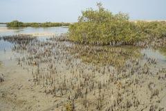 Biały mangrowe drzewa w tropikalnej lagunie Zdjęcia Royalty Free