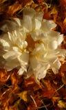 Biały marygold Zdjęcie Royalty Free