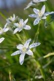 Biały Milchstern kwiat Obrazy Royalty Free