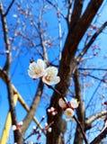 bia?y morelowi kwiaty Pi?kny kwiatono?ny morelowy drzewo obrazy royalty free