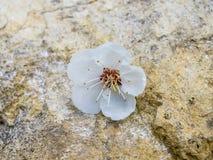 Biały morelowy kwiat na kamieniu Fotografia Stock