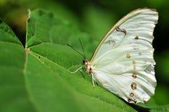Biały Morpho motyl Zdjęcie Royalty Free
