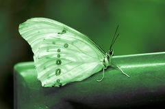 Biały Morpho motyl Zdjęcie Stock