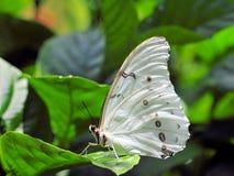 Biały Morpho motyl (Morpho polyphemus) Zdjęcie Royalty Free