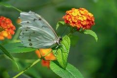 Biały Morpho motyl przy Montreal ogródem botanicznym Zdjęcie Royalty Free