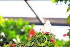 Biały Morpho motyl w wolierze, Floryda Obraz Stock