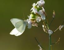 biały motyl Zdjęcia Stock