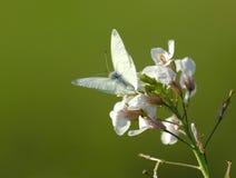 biały motyl obraz stock