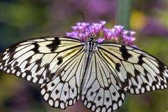 Biały motyl Zdjęcia Royalty Free