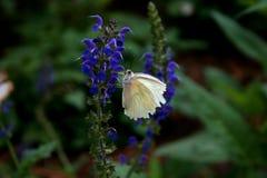 Biały motyl Fotografia Royalty Free