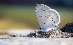 Biały motyl Fotografia Stock