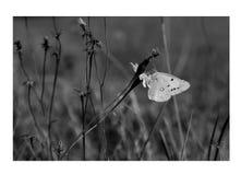 biały motyl czarnego obrazy stock