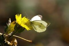 biały motyl czarnego Zdjęcia Stock