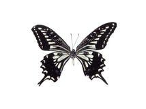 biały motyl czarnego Obrazy Royalty Free
