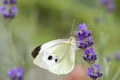 Biały motyl na lawendowym kwiacie Zdjęcia Royalty Free