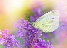 Biały motyl na lawendzie Obraz Royalty Free