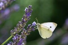 Biały motyl w lawendzie Zdjęcia Royalty Free