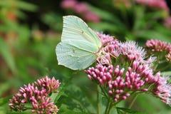 Biały motyli makro- Zdjęcia Royalty Free