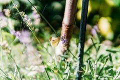 Biały Motyli monarcha Z Brown punktami Obraz Stock
