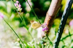 Biały Motyli monarcha Z Brown punktami Obrazy Stock