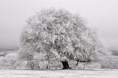 Biały natury drzewo Zdjęcie Royalty Free