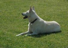 Biały Niemiecki Pasterski pies Zdjęcie Royalty Free