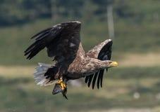 Biały Ogoniasty Dennego Eagle Haliaeetus albicilla Zdjęcie Stock