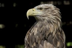 Biały ogoniasty Dennego Eagle ptak zdobycz zdjęcie stock