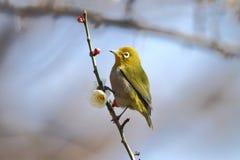 Biały oko ptak Obrazy Royalty Free