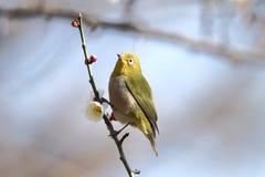 Biały oko ptak Fotografia Stock