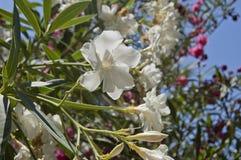 Biały oleandrowy kwiat Zdjęcie Royalty Free
