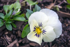 Biały pansy kwiat - hybryd altówka i wittrocklana obraz stock