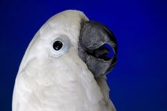 Biały parasolowy kakadu Fotografia Stock